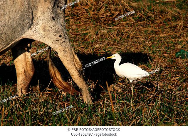 Cattle egret Bubulcus ibis feeding on insects beside a cow