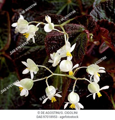 Begonia ramentacea, Begoniaceae