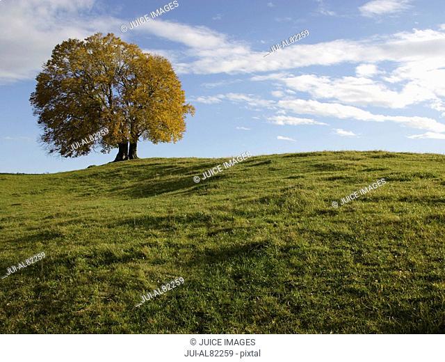 Tree in grassy meadow, Bavaria, Germany
