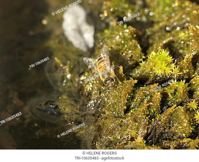 Honey Bee Drinking Water England