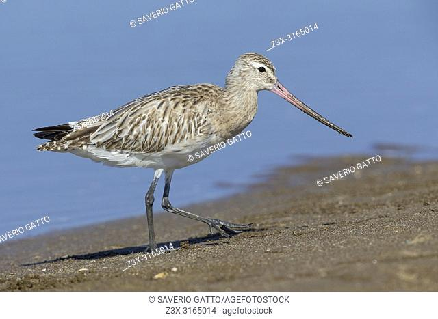 Bar-tailed Godwit (Limosa lapponica), walking on the sand, Liwa, Al Batinah, Oman