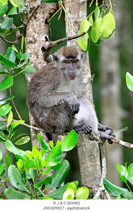 Long-Tailed Macaque,Macaca facicularis,Labuk Bay,Sabah,Borneo,Malaysia,Asia,adult on tree