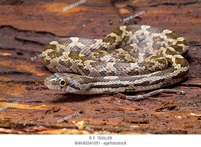 Grey Rat Snake (Elaphe obsoleta spiloides, Pantherophis obsoletus spiloides), rolled-up