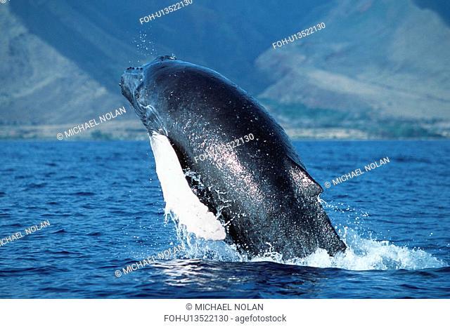 Pacific Humpback Whale Megaptera novaeangliae calf breach / lunge along the coast of West Maui, Hawaii, USA