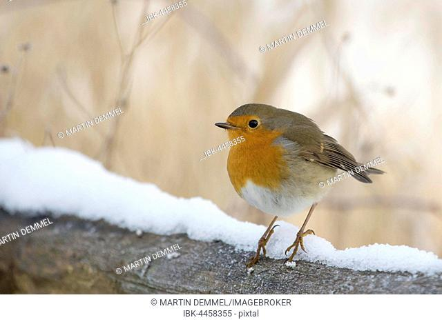 Robin (Erithacus rubecula), adult, on snowy branch, Saxony-Anhalt, Germany