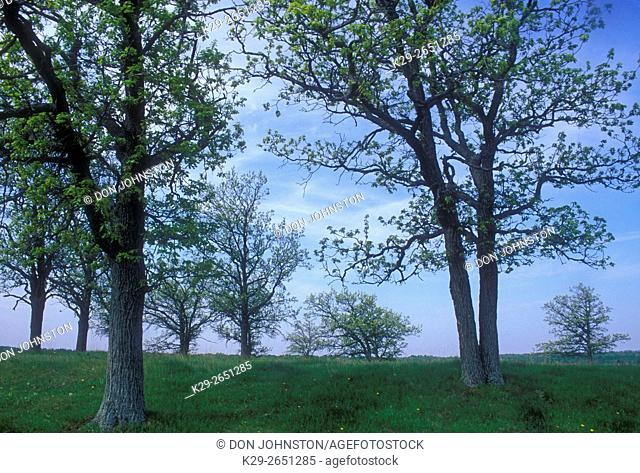 Grove of oak trees and pasture on McLean's Mountain, Manitoulin Island, Ontario, Canada