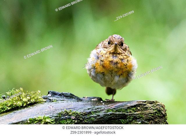 Juvenile Robin (Erithacus rubecula) Scotland, UK
