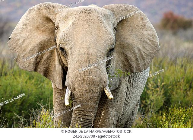 African bush elephant or African savanna elephant (Loxodonta africana). Madikwe Game Reserve. North West Province. South Africa