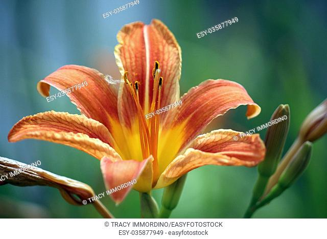 Macro shot of an orange Day lily in full bloom