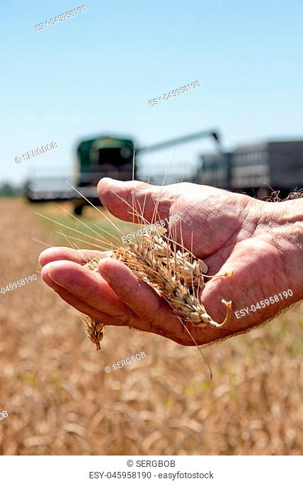 Wheat spikelet lie on male palm in sunny summer day, closeup
