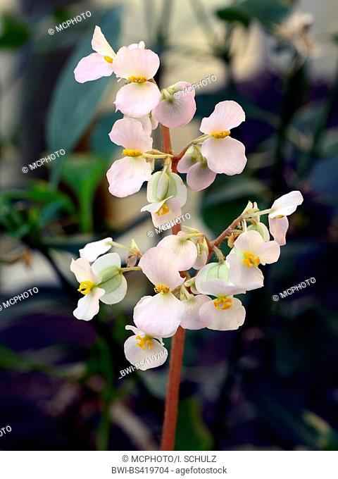 Begonia (Begonia floccifera), flowers, Bundesrepublik Deutschland