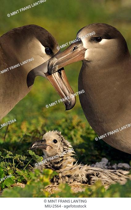 Black-footed albatross couple and chick, Phoebastria nigripes, Tern Island, Hawaiian Leeward Islands