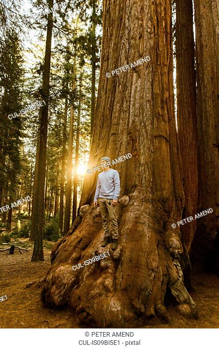 Man standing on sequoia tree, Sequoia National Park, California, USA