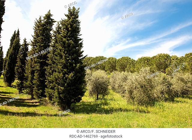 cypresses, olive trees, Tuscany, Italy, Europe, Cupressus sempervirens,, Olea europaea