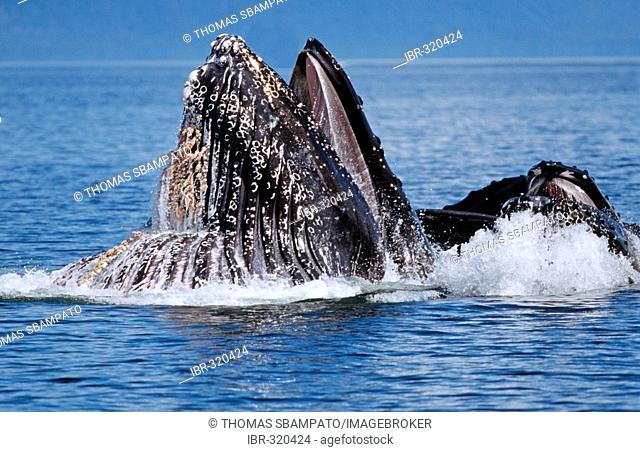 Several Humpback Whales (Megaptera novaeangliae) in the water, Alaska, America