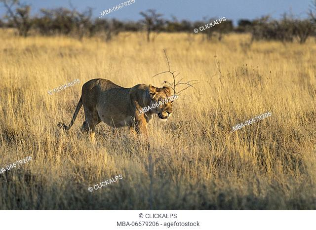Etosha National Park, Namibia, Africa. Lion in the bush