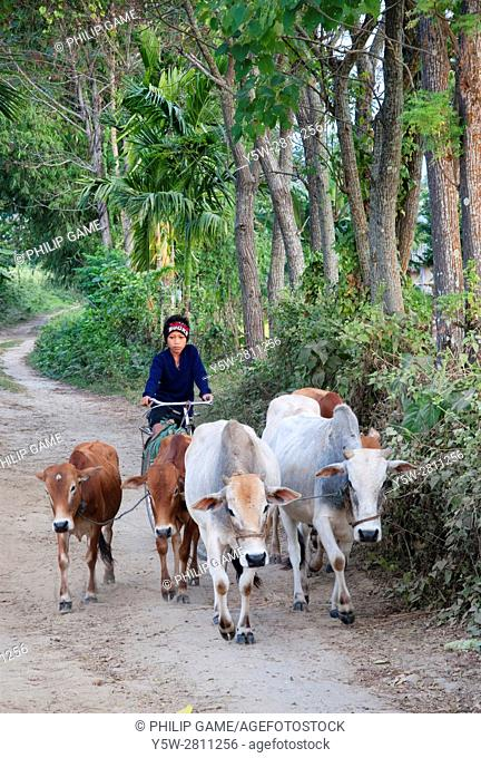 Boy riding a bicycle escorts cattle out to graze in the fields, Assam, India