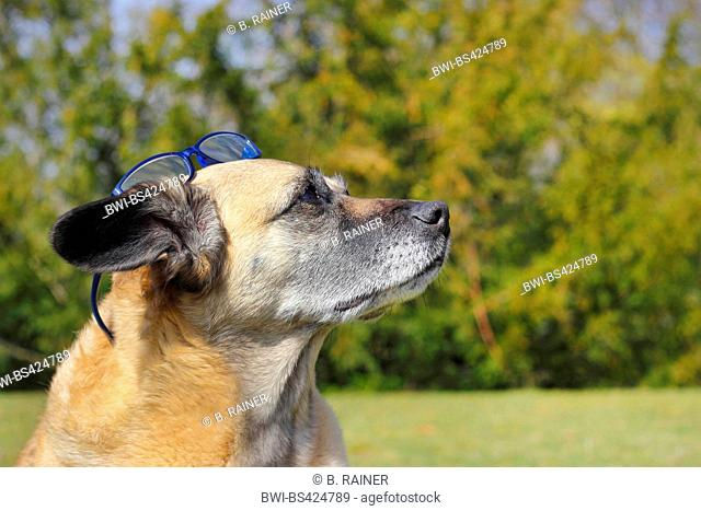 mixed breed dog (Canis lupus f. familiaris), Malinois-mixed breed she-dog wearing blue glasses on the head, side view, Germany