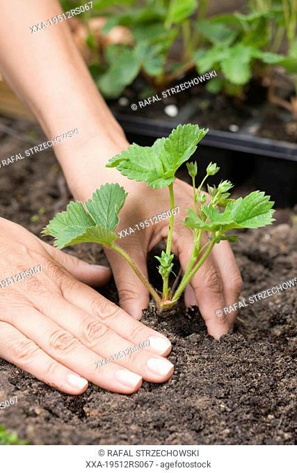 Woman planting strawberries