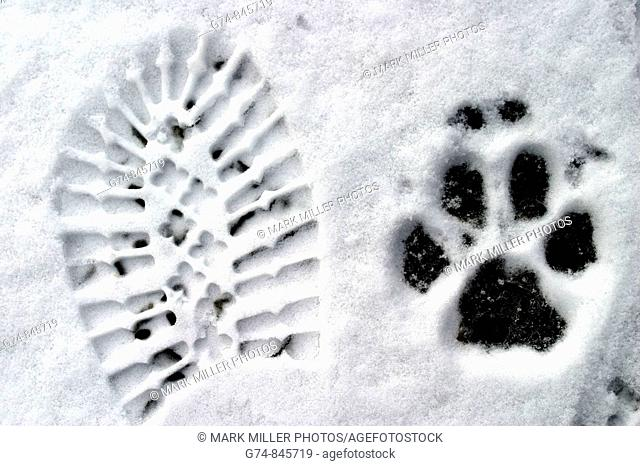 Wolf print by boot print