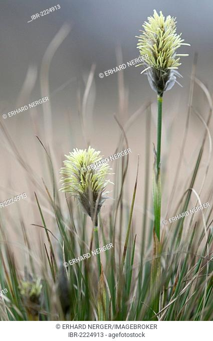 Hare's-tail Cottongrass, Tussock Cottongrass, Sheathed Cottonsedge (Eriophorum vaginatum), flowering, Haren, Emsland region, Lower Saxony, Germany, Europe