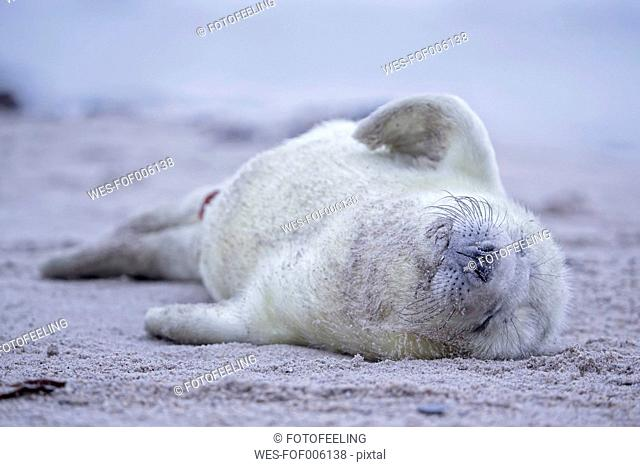 Germany, Schleswig-Holstein, Helgoland, Duene Island, grey seal pup (Halichoerus grypus) sleeping on the beach