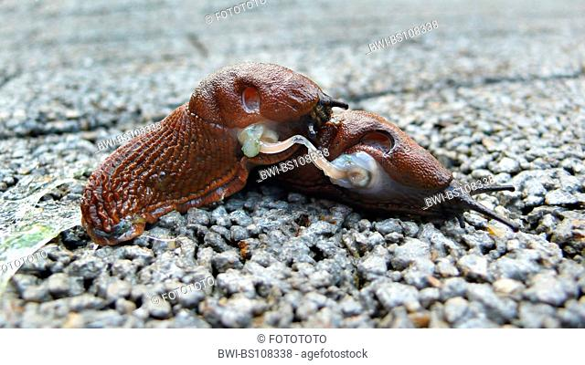 Spanish slug, Lusitanian slug (Arion lusitanicus, Arion vulgaris), copulation, Germany