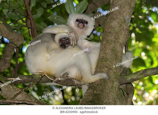Silky sifaka (Propithecus candidus), female, young, extremely rare, rainforest of Marojejy National Park, Madagascar