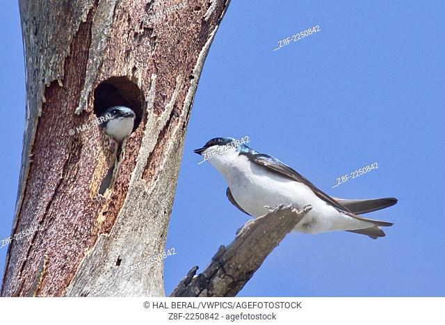 Pair of Tree Swallows, one in nest in tree hollow.(Tachycineta bicolor).Bolsa Chica Wetlands,California