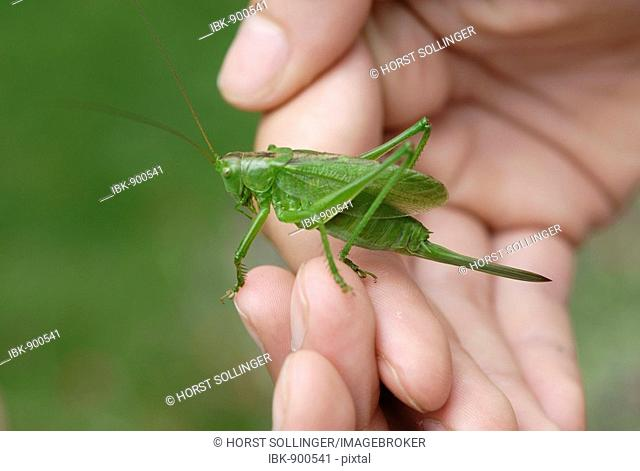 Great Green Bush Cricket (Tettigonia viridissima) held in a child's hand