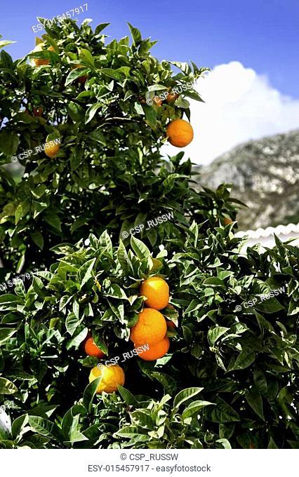 Orange tree and mountain