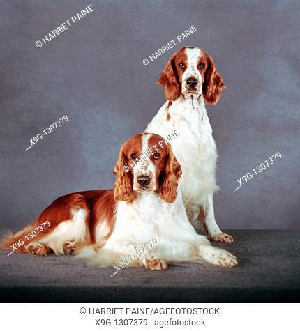 English Springer Spaniel: type of breed
