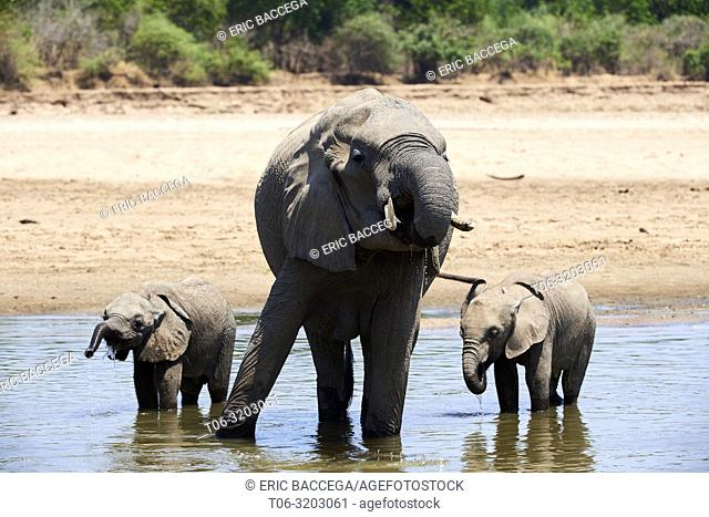 African elephant mother and two calfs drinking from Luangwa river (Loxodonta africana). South Luangwa National Park, Zambia