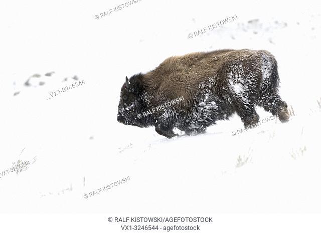 American Bison / Amerikanischer Bison ( Bison bison ), bull in winter fur, walks downhill through deep snow, Yellowstone National Park, Wyoming, USA