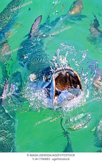 Atlantic tarpon, Megalops atlanticus, feeding frenzy on baitfish, Islamorada, Florida Keys National Marine Sanctuary, Florida, USA, Caribbean Sea