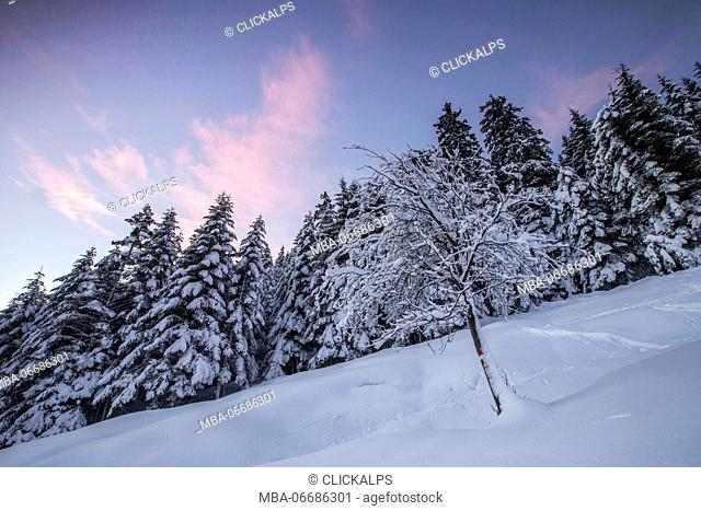 Pink sky at dawn above snow covered trees Tagliate Di Sopra Gerola Valley Valtellina Orobie Alps Lombardy Italy Europe