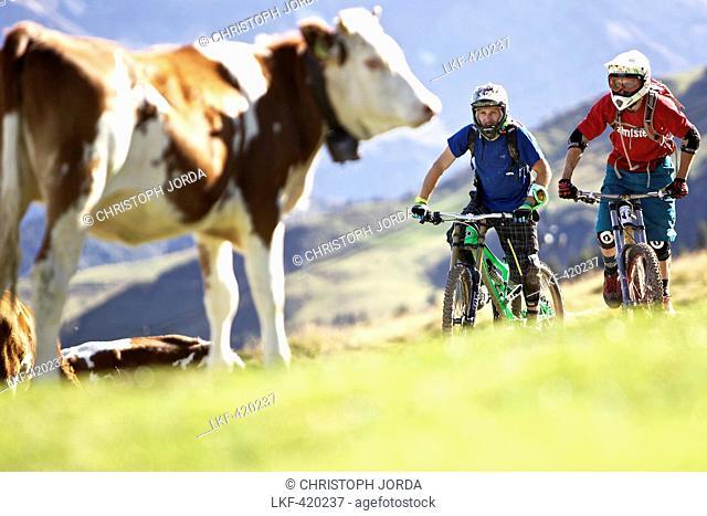 Two downhill mountain bikers passing cow pasture, Morzine, Haute-Savoie, France