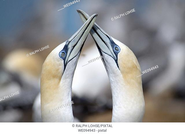 Two gannets moris in front of a gannet colony in Australia
