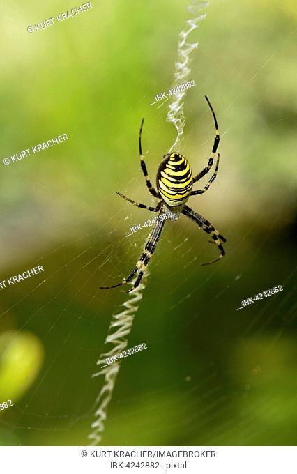 Wasp Spider (Argiope bruennichi) in the spiderweb, Gross-Enzersdorf, Lobau, Danube-Auen National Park, Lower Austria, Austria