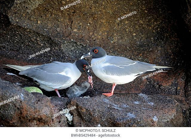 Swallow-tailed Gull (Creagrus furcatus), pair feeding the chick, Ecuador, Galapagos Islands, Genovesa