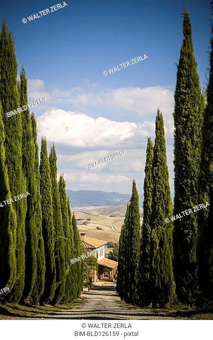 Cypress trees growing along rural road
