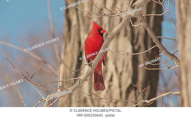 A male Northern Cardinal (Cardinalis cardinalis) perches on a tree branch on a sunny winter day