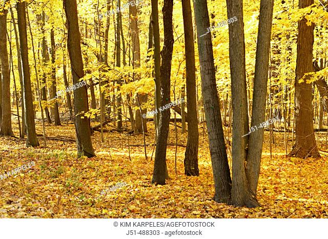 Illinois. Wright Woods Forest Preserve Bright yellow leaves on maple trees in forest, sunny fall day