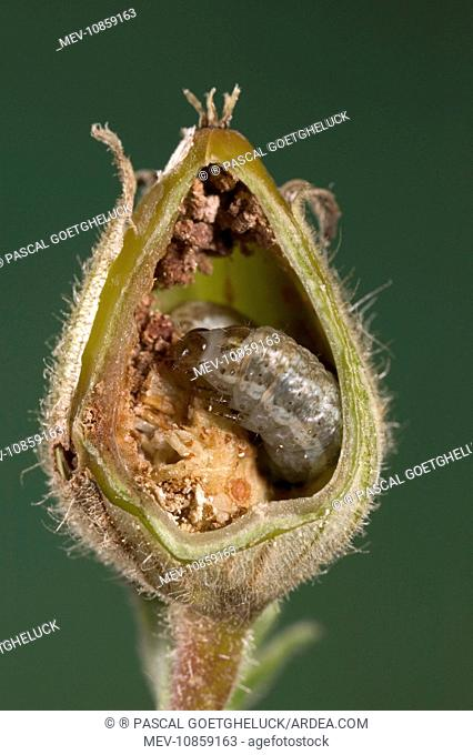 White Campion - Cut of a fruit parasitized by a caterpillar of a noctuidae. (Silene alba). Europe