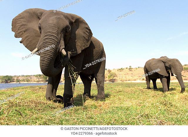 African Elephant (Loxodonta africana), eating, Chobe National Park, Botswana