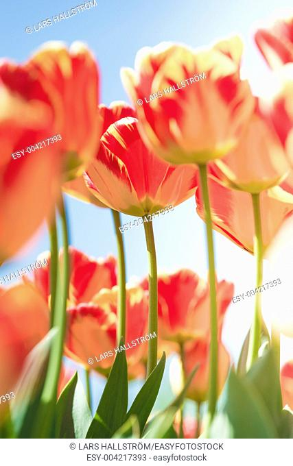 Flower bed with springtime tulips growing in sunshine