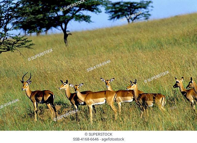 kenya, masai mara, impalas