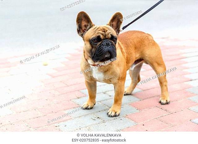 domestic dog French Bulldog breed