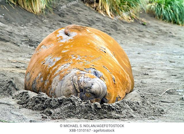 Adult southern elephant seals Mirounga leonina catastrophic molting on the beach at South Georgia in the Southern Ocean  MORE INFO The southern elephant seal is...