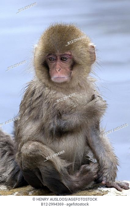 Japanese macaque or snow japanese monkey, young (Macaca fuscata),Japan
